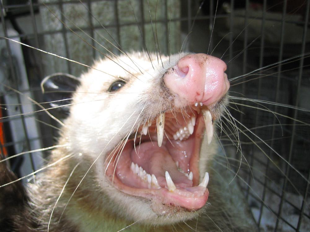 opossum021.jpg