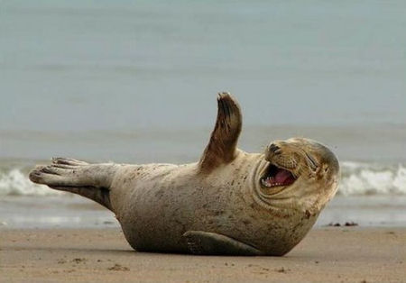 t5yxi-funny-seal-laughing