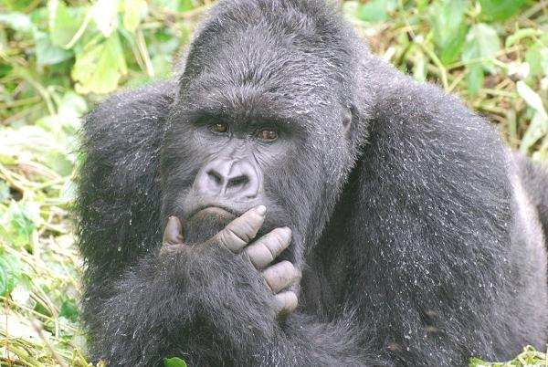 gorilla-irresistable-beauty